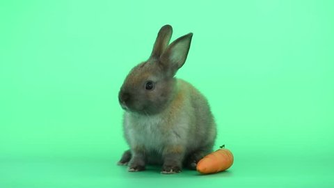 Little gray brown bunny rabbit stay near carrot and try to listen some voices on green screen background