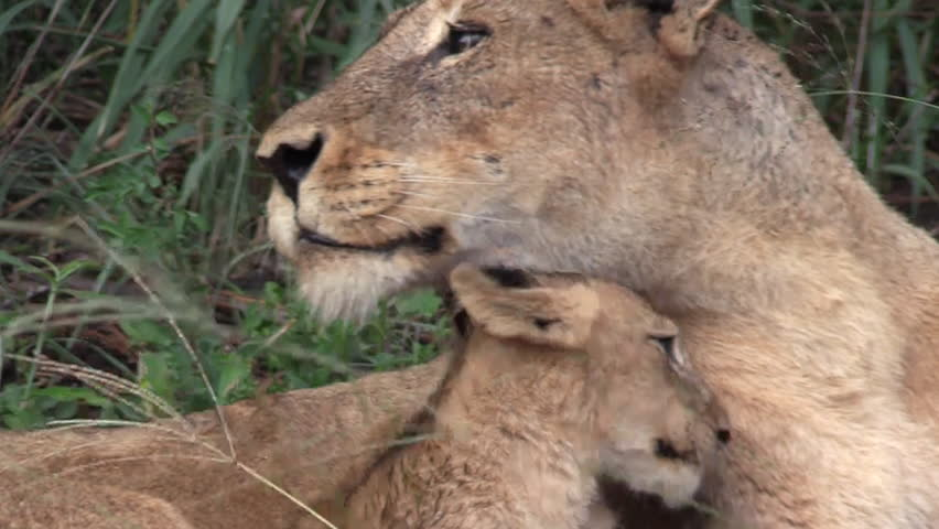 Beautiful scene of lioness lying down and carefully licking her cub. Greater Kruger South Africa. Eyelevel shot