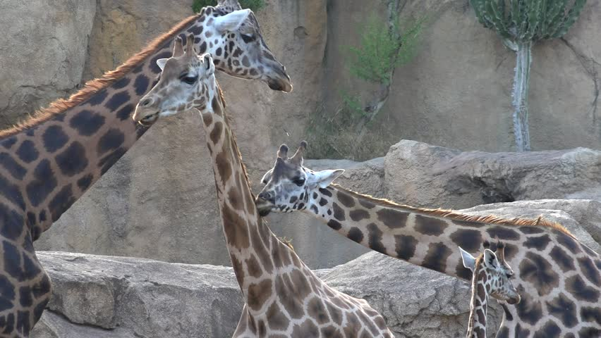 A Wild Animals Giraffes #1024262270
