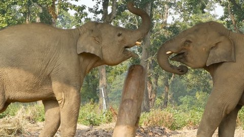 Young playful elephants in Chitwan national park. Side view of young elephants playing with each other, Nepal.