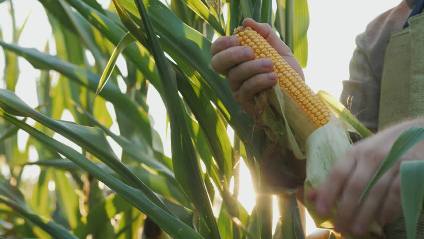 Keep heads of corn in the sun. Organic farming concept | Shutterstock HD Video #1024295900
