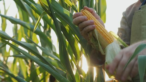 Keep heads of corn in the sun. Organic farming concept