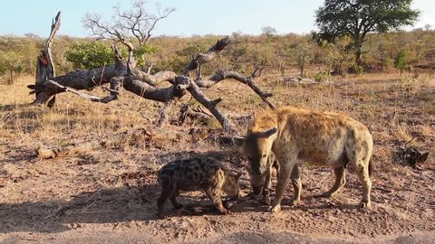 Spotted hyaena family group scavenging in Kruger National park, South Africa ; Specie Crocuta crocuta family of Hyaenidae
