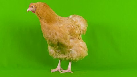 Chicken fail, funny chicken poops on green screen during video shoot showing that they are not good pets