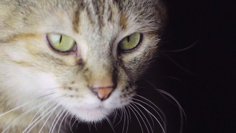 Tabby Cat Eyes. Close Up. Forestry Domestic Shorthair Cat on Black Background. Slow Motion