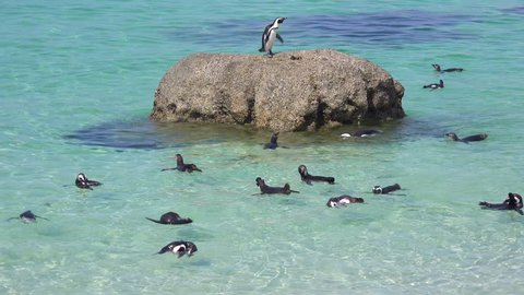 CAPE TOWN, SOUTH AFRICA - CIRCA 2018 - Dozens of jackass black footed penguin swim near Boulder Beach on the Cape of Good Hope, South Africa.