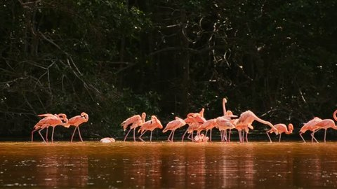 Pink flamingos bathing and playing in lagoon waters in mangrove forest