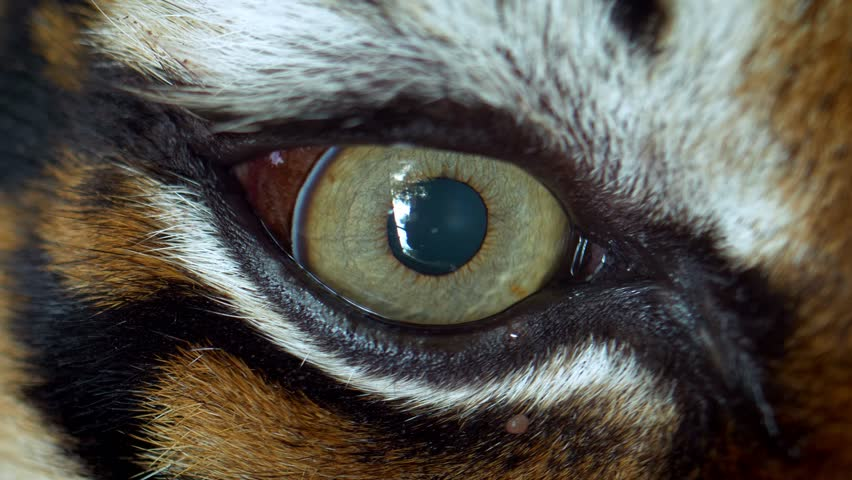 Close up of Sumatran tiger (Panthera tigris sumatrae) eye