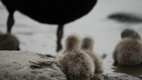 Furry black swan baby stands on rock and clean its feather with beak with family background, shake head turn left and right, 4K Video, slow motion.
