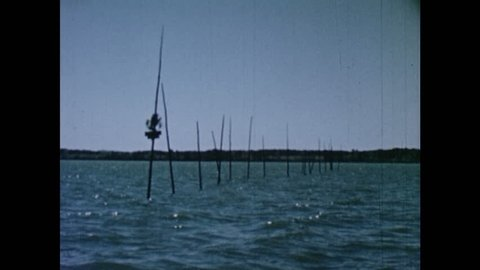 1950s: Wooden poles sway in James River. Man in small fishing boat removes fish captured in pole nets.