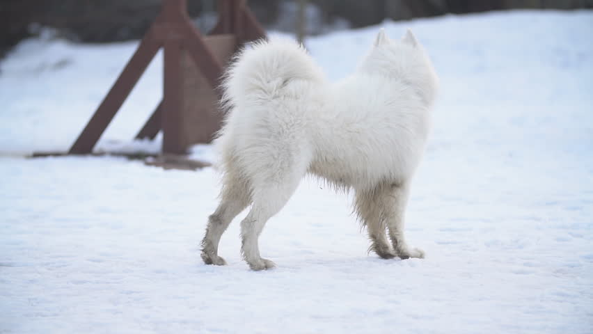 dog breed samoyed playground