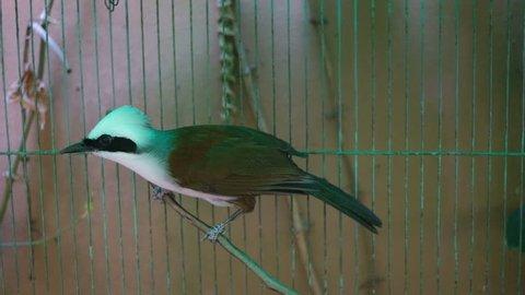 Cheerful white-crested laughing thrush (Garrulax leucolophus) inside bird cage