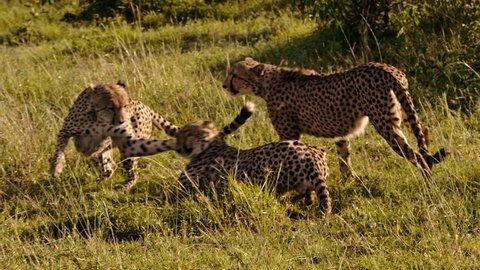 Group of cheetahs in Maasai Mara park, Kenya