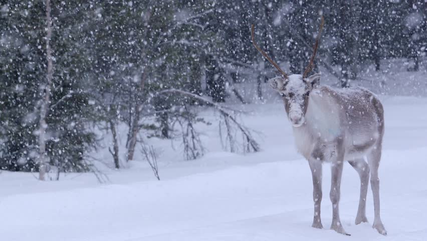 Single male Reindeer facing the camera in the forest in Lapland, Sweden. Nordic Reindeers / Deers in the snowy Lapland | Shutterstock HD Video #1025137550