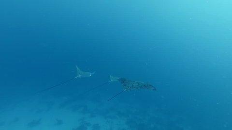 Three spotted eagle ray (Aetobatus narinari) swimming in the sea.
