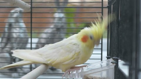 Yellow lutino cockatiel perched pecking at its food bird seed in its cage using beak