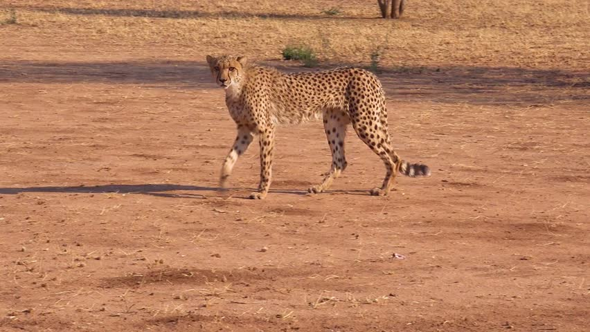 AFRICA - CIRCA 2018 - A cheetah walks and hunts on the savannah plains of Africa in this safari shot.