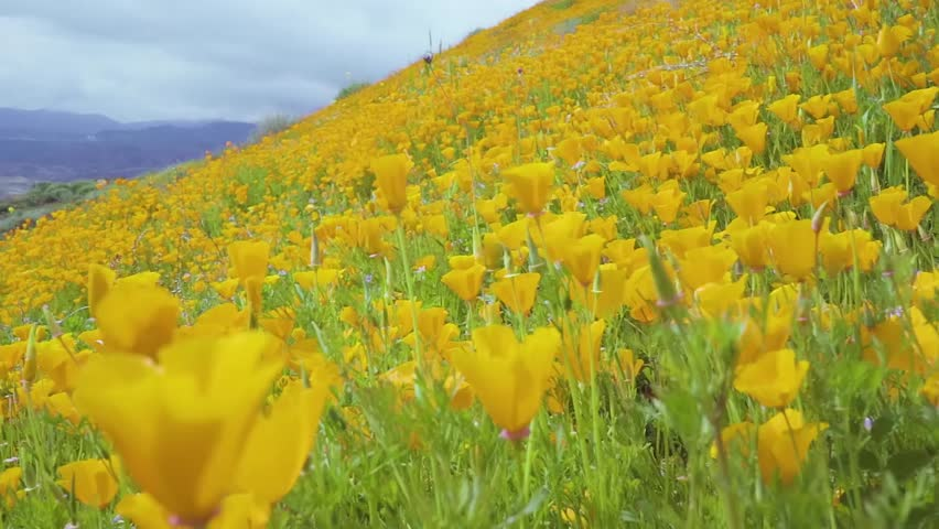 Slow motion California poppies covering a mountainside swaying in the wind during the super bloom