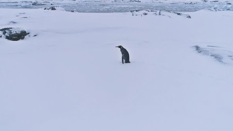Lone King Penguin Antarctic Snow Surface Landscape. Antarctica Polar Animal Habitat Eternal Frost Extreme Wild Nature. Aerial Side View Footage Shot in 4K (UHD)