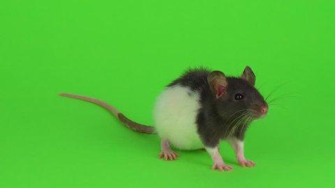 Rat green screen