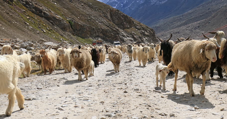 Domestic animals in large herd pashmina goats and sheep travel on rural mountain road in Ladakh, India