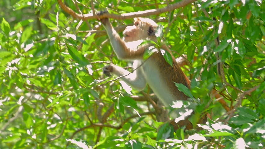 Endangered Toque Macaque monkey in wild nature | Shutterstock HD Video #1025778140