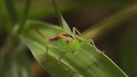 Macro frontal shoot of green transparent grasshopper moving its antenna with eyes, mouth, head and body visible - filmed in the wild