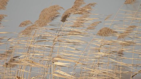 Grass Sways In The Wind At Winter Day.Dry Grass Sways In The Wind Winter Snow Landscape.Field Of Wild Grass Sway From Wind Against The Sky.Wind Sways Grass In Winter.The Reed In The Meadow Sways.