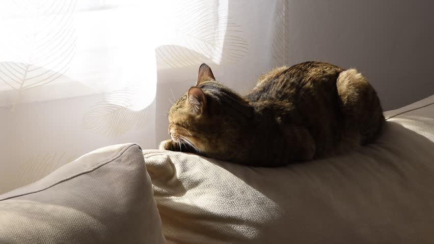 European breed cat sleeps comfortably on the sofa in the sun in front of the window | Shutterstock HD Video #1025979650