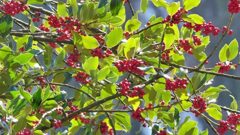 common holly braches in backlit sunlight with red berries at Buckten. CH Switzerland