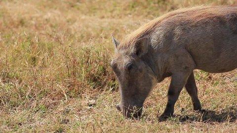 Warthog grazing in Tanzania