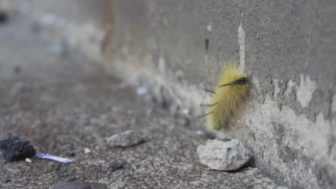 A close-up of a yellow caterpillar crawling on the concrete pavement