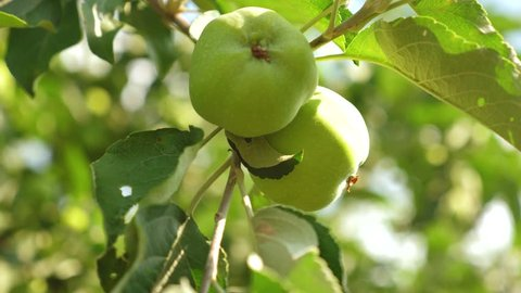apple orchard in summer. Apples on tree. close-up. Green apples on the branch. beautiful apples ripen on the tree. agricultural business. organic fruit.