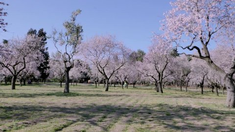 Madrid / Spain - 03 01 2019: An overview video of almond trees in blossom with pink flowers in spring in Europe at the park of Quinta de los Molinos in Madrid, Spain in spring.