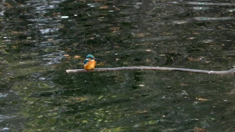 A Common Kingfisher sitting on a branch at Musashiseki Park in Tokyo, Japan.