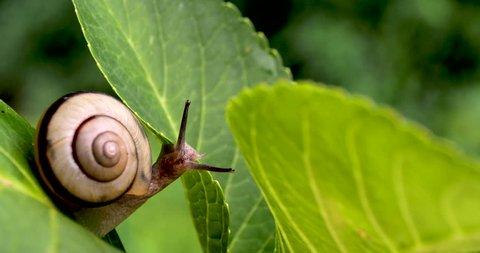 It's a common snail