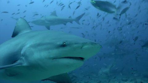 Gray bull shark eats from hands of the diver underwater ocean of Tonga. Feeding sharks Carcharhinus leucas in underwater marine wildlife of Pacific Ocean.