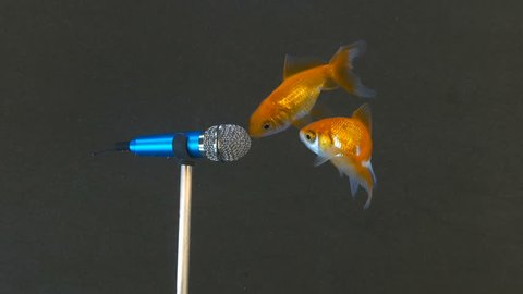 Little fish express their opinion into a microphone underwater. Concept footage in 4K,