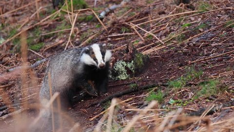 European Badger, Meles meles, walking/foraging/rambling near sett looking for food during the evening in scotland during spring.