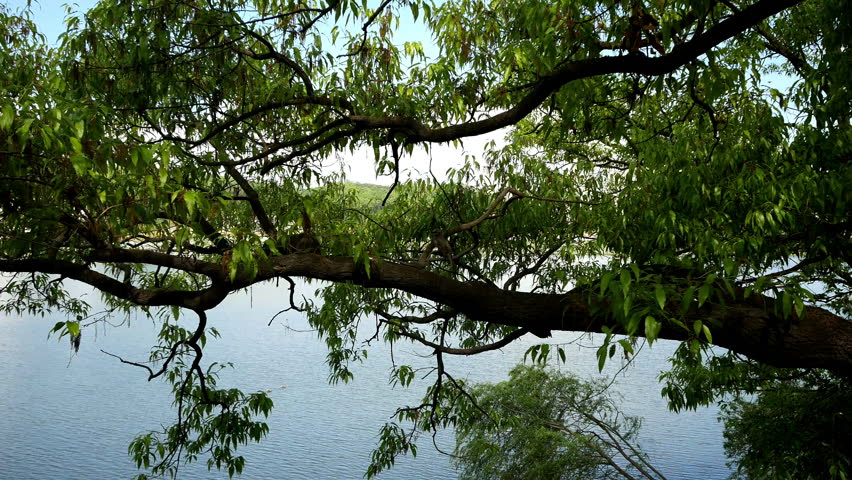 A green tree towers over a quiet river. In the tree a few birds fly. The scene was filmed in the summer. | Shutterstock HD Video #1027163720