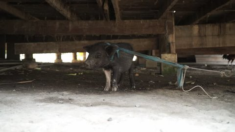 Young black pig, under the house.