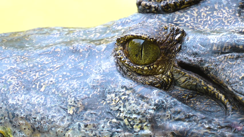 Closed up of crocodile close the eye in the zoo | Shutterstock HD Video #1027187780