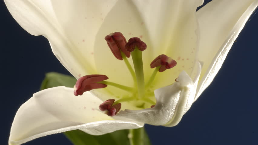 Lily flower opening time lapse 4K. The petals open to reveal stamens splitting open to release pollen, sticky stigma. Macro