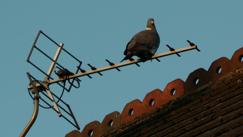 Pigeon perched on TV Ariel / antenna | Shutterstock HD Video #1027434530