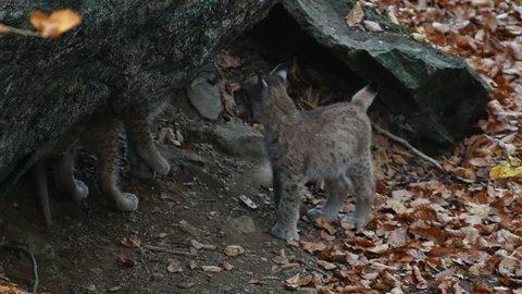 Two Eurasian lynx (Lynx lynx) kittens playing in front of den entrance