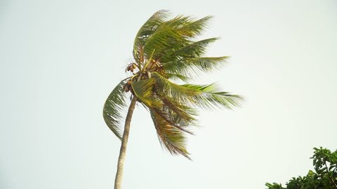 Isolated lonely coconut palm tree leaves moving in the wind against the bright sky before sunset.