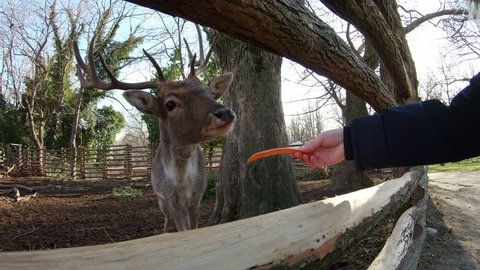 A happy boy stretches out his hand and feeds a carrot deer with big horns behind a wooden fence in a city zoo in the winter on a sunny day. Family weekend. Animals at the zoo garden. Lifestyles