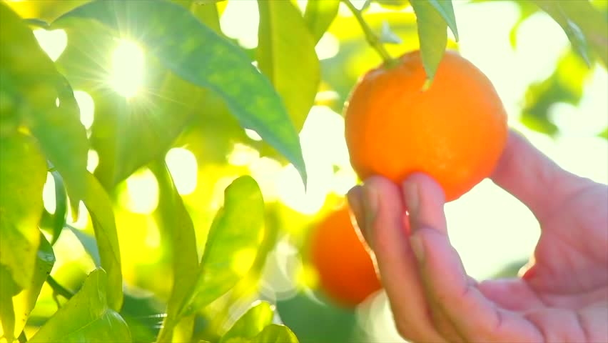 Ripe Orange Citrus fruits or tangerines hanging on a tree. Person picking Beautiful Healthy organic juicy oranges in Sunny Orchard. Orange gathering.