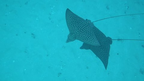 Close Up: White Spotted Eagle Rays Swimming Over Ocean Floor in Maui, Hawaii