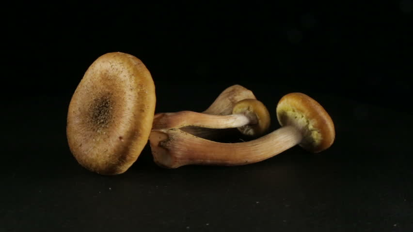 Two honey mushrooms, in rotation on a black background.